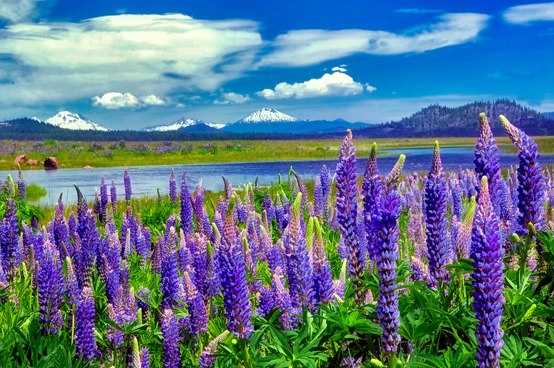 Lupines and Cascade mountains on Century Drive: Middle/South Sister,Brokentop and Mt. Bachelor, at Davis Lake, Oregon