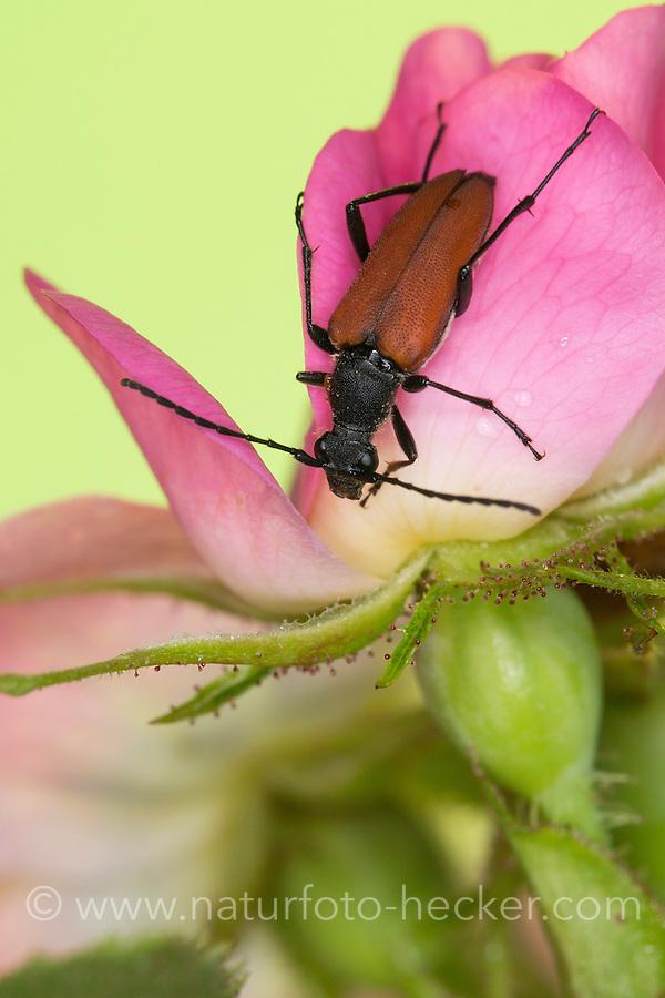 Blutroter Halsbock, Weibchen, Blütenbesuch auf Wildrose, Anastrangalia sanguinolenta, Leptura sanguinolenta, Blood red longhorn beetle, Blood-red longhorn beetle, female