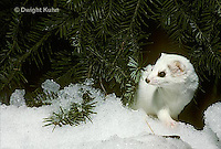 MA06-084x  Short-tailed Weasel exploring forest floor in winter, Mustela erminea