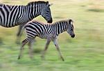 Grant's zebra mare and foal in motion, Maasai Mara National Reserve, Kenya
