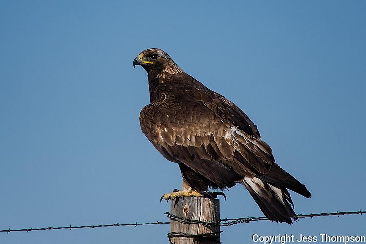 Golden Eagle, Colorado roadside