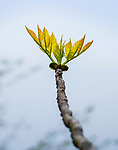 New leaf sprouts in spring.