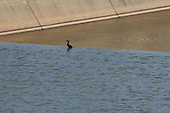 Crane leans against the flow to search for fish on the spillway of the Great Salt Plains Reservoir overflow.