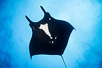 San Benedicto Island, Revillagigedos Islands, Mexico; a black manta ray swimming overhead while partially blocking out the sun