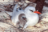 bird, Red-tailed Tropicibird, Phaethon rubricauda, adult with chick at nest site on Sand Island, Midway Atoll, Papahanaumokuakea Marine National Monumen, Northwestern Hawaiian Islands