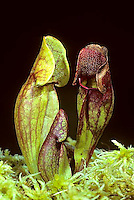 CA01-005d  Pitcher Plants - carnivorous - Sarracenia purpurea
