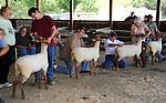 Sheep show in Monadnock Barn at Cheshire Fair in Swanzey, New Hampshire USA