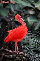 0204-08uu  Scarlet Ibis, Eudocimus ruber - © David Kuhn/Dwight Kuhn Photography