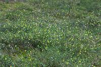Wiesen-Wachtelweizen, Wiesenwachtelweizen, Melampyrum pratense, common cow-wheat, Le Mélampyre des prés, Millet des bois, Cochelet, Sarriette jaune