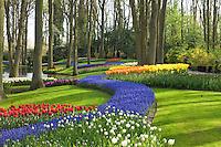 """Hollande, région des champs de fleurs, Lisse, Keukenhof, massifs de tulipes, muscaris et narcisses en sous-bois // Holland, """"Dune and Bulb Region"""" in April, Lisse, Keukenhof, flowerbeds with tulips, muscaris and daffodils undergrowth."""