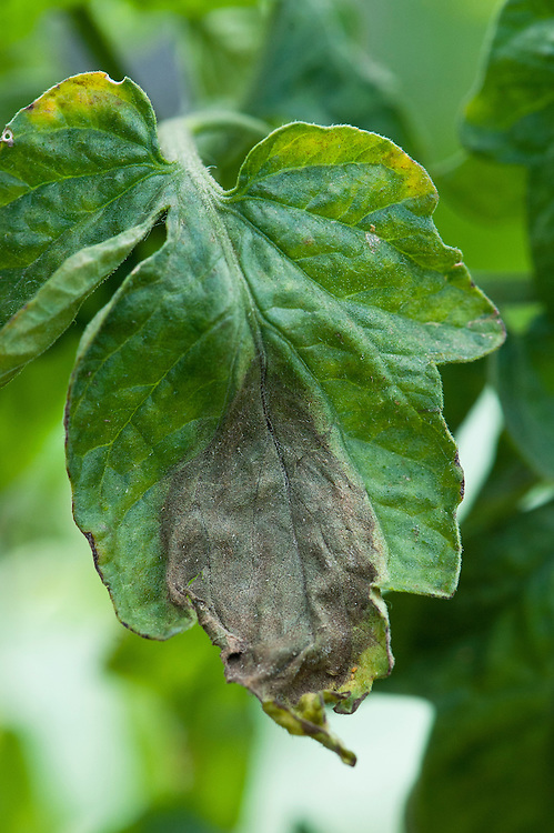 Tomato leaf infected with tomato blight. Sometimes known as tomato late blight to distinguish it from tomato early blight, caused by a different fungus: Alternaria solani.