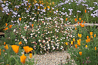 Drought tolerant, deer proof California flower garden with Mexican daisy (Erigeron) and poppies; Torgovitsky