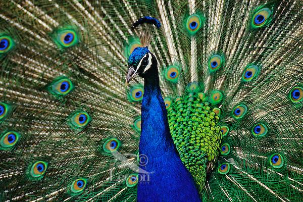 Male Peacock displaying.