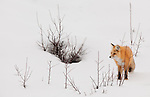 A single red fox smiles as it looks through branches poking up through the snow during the winter months in Yellowstone National Park.