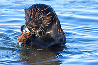 Close up of a male sea otter (Enhydra lutris nereis) finishing a mussel in between rounds of mating @ Moss Landing in the Monterey Bay National Marine Sanctuary.