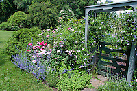 Blue Clematis climbing vine on pretty blue  arbor trellis garden gate, climbing into nearby rose bush shrub Rosa, Nepeta catmint, lawn grass, trees and evergreens