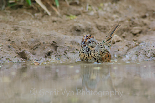 Adult Lincoln's Sparrow (Melospiza lincolnii) bathing in desert water hole. Starr County, Texas. March.