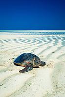 green sea turtle, Chelonia mydas, Cartier Island, Kimberly Coast, Western Australia, Indian