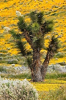 Joshua Trees ( Yucca brevifolia ) and carpets of goldfields (Lasthenia californica) Antelope Valley near Lancaster, California