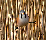 Birds do the splits on reed stems by John Cobham