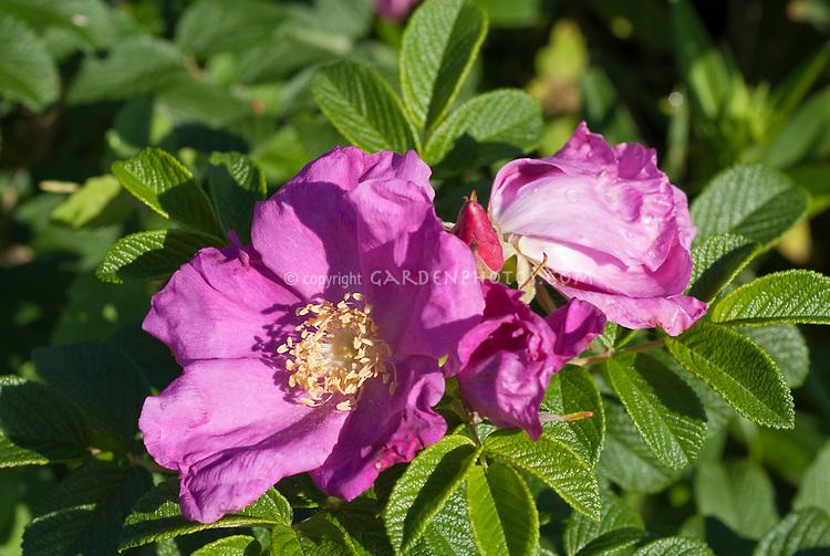 Rosa rugosa 'Scabrosa' Rugosa rose in prink flower