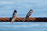 Welcome Swallow, Daintree River, Queensland, Australia