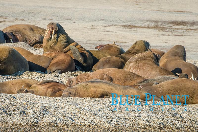 Atlantic walruses, Odobenus rosmarus rosmarus, colony lies on gravel bank, Torellneset, Arctic, Svalbard