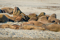 Atlantic walruses, Odobenus rosmarus rosmarus, colony lies on gravel bank, Torellneset, Arctic, Svalbard
