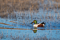 """Photographing shovelers can be like playing Whack-a-Mole. They don't keep their heads above water for very long; as """"dabbling ducks"""" they feed with their heads in the water and their rear ends up above the surface. We were fortunate to spot this male Northern Shoveler (Anas clypeata) with his gorgeous green head up, and in a spot of soft morning light, in a calm and quiet (no there were no Snow Geese there LOL) part of the pond.<br />  <br /> Bosque del Apache National Wildlife Refuge, New Mexico."""
