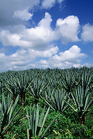 Agave plantation with intense blue sky with puffy white clouds. #5862. Merida Yucatan Mexico.