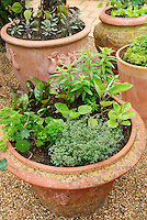 Container garden in terracotta clay pots with herbs thyme, nasturtium, sage, vegetables eggplant, etc, on pebble mulch near patio