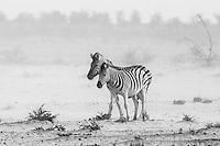 Burchell's Zebras in Etosha, Namibia