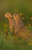 Mourning Dove, Zenaida macroura,pair, Lake Corpus Christi, Texas, USA