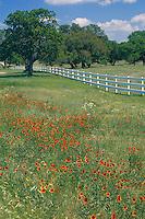 Indian Blanket (Gaillardia pulchella)<br /> Texas Hill Country<br /> Texas