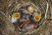 Grauschnäpper, Ei, Eier, Gelege und bettelnde, sperrende Küken im Nest, Grau-Schnäpper, Muscicapa striata, spotted flycatcher