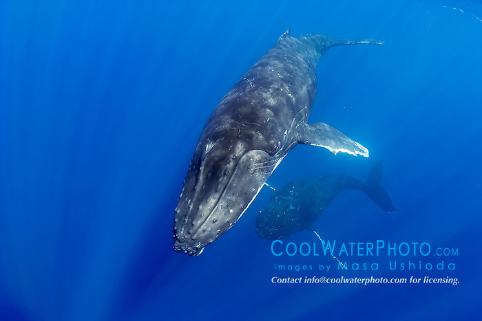 humpback whales, Megaptera novaeangliae, displaying courtship behavior - male aggressively pursuing female while blowing bubbles, Hawaii, USA, Pacific Ocean