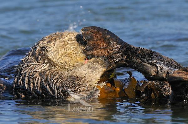 Sea Otter (Enhydra lutris) in kelp grooming back flipper.