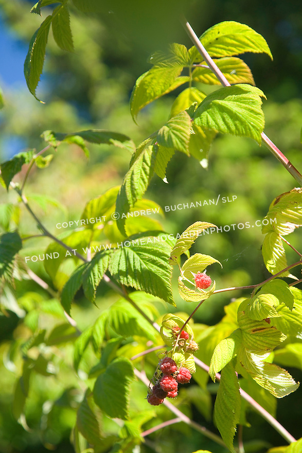 rich red raspberries hang from canes in the summer sun in this close-up, detail image of luscious red fruit