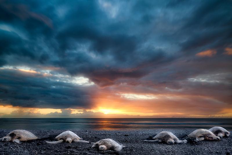 Turtles on beach at Punaluu Black Sand Beach. Hawaii Island