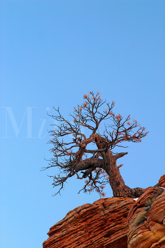 Tree on clifftop against blue sky, Zion National Park, Washington County, U