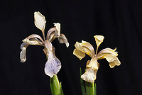 Iris foetidissima, two forms, bluish at left, murky yellow at right