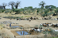 TANZANIA, cattle herd in dry river bed in Meatu district / TANSANIA Meatu, Rinderherde an Wasserstelle in trocknem Flussbett , Baobab Baeume am Horizont
