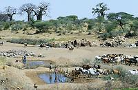 TANZANIA, cattle herd in dry river bed in Meatu district / TANSANIA Meatu, Rinderherde an Wasserstelle in trocknem Flussbett , Baobab Baeume am Horizont