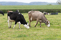 14-5-2021 Crossbred Dairy cows grazing in the Vale Of Belvior <br /> ©Tim Scrivener Photographer 07850 303986<br />      ....Covering Agriculture In The UK....