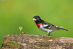 Male rose-breasted grosbeak perched on a log in northern Wisconsin.