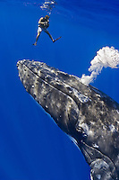 Videographer and humpback whale, Megaptera novaeangliae, blowing bubbles, Pacific Ocean.