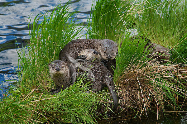 Northern River Otter (Lontra canadensis) family--mother with three pups--play on grass covered log along edge of lake.  Western U.S., summer..