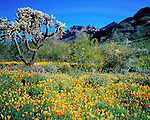 Golden poppies and Cholla cactus along the Ajo Mountains, Organ Pipe Cactus National Monument, Lukesville, Southwest Arizona. .  John offers private photo tours in Arizona and and Colorado. Year-round.