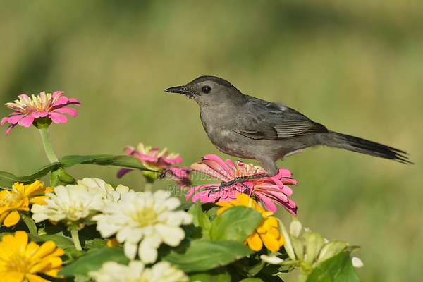 Gray Catbird (Dumetella carolinensis), adult perched on zinnia flowers, South Padre Island, Texas, USA