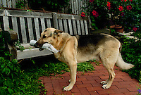 German shepard dog fetches newspaper